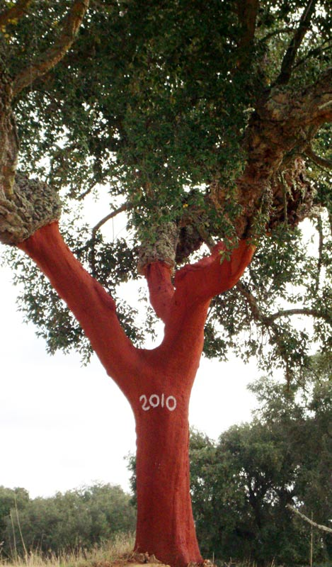A Portuguese Cork Oak tree, recently harvested